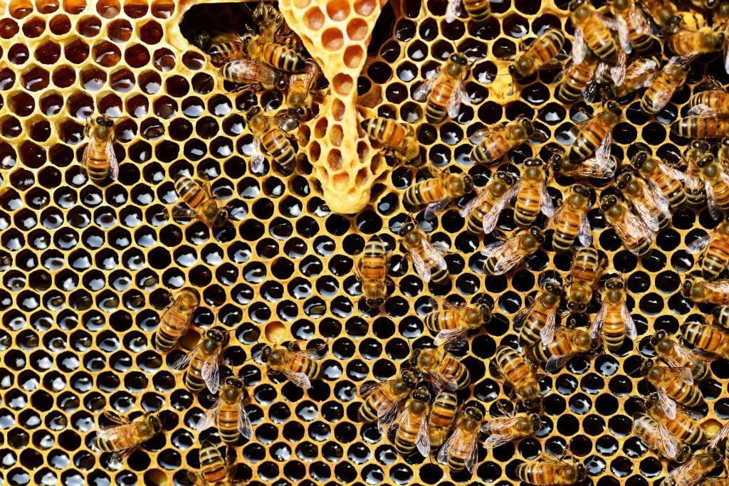 VetZone, vet zone, veterinary, Kayla Wells DVM, Christopher Lee DVM, veterinary medicine, veterinarian, education, preventive medicine, diplomate, ACVPM, DACVPM, biosecurity, zoonotic, zoonosis, honey bee, American foulbrood, AFB, Gram positive, Paenibacillus larvae, infectious, spore, agriculture, pollination, pollinator, almonds, Terramycin, swarm