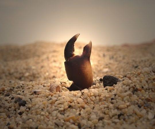 Sand Fleas and Beach Fleas, Jigger or Chigger?